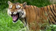 Bagh Tigar