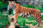Panthera_tigris_tigris
