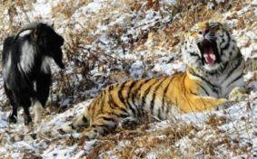 Tiger-Goat