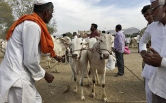 cow & crishok India