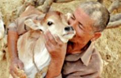 Cow-news