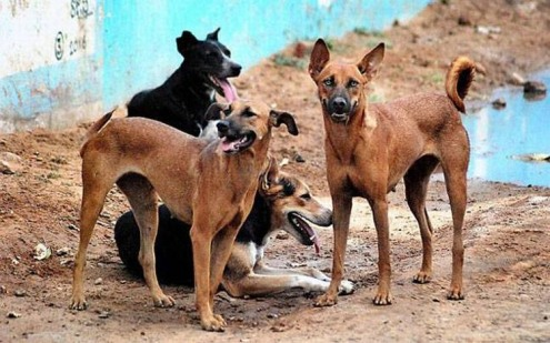 indian-dogs.jpg