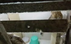 Leopard-bithrum.jpg