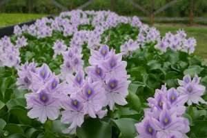water_hyacinth++