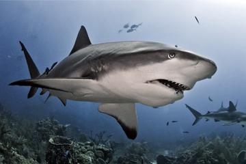 shark, hangor.jpg